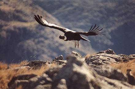 Condor en peligro de extincion