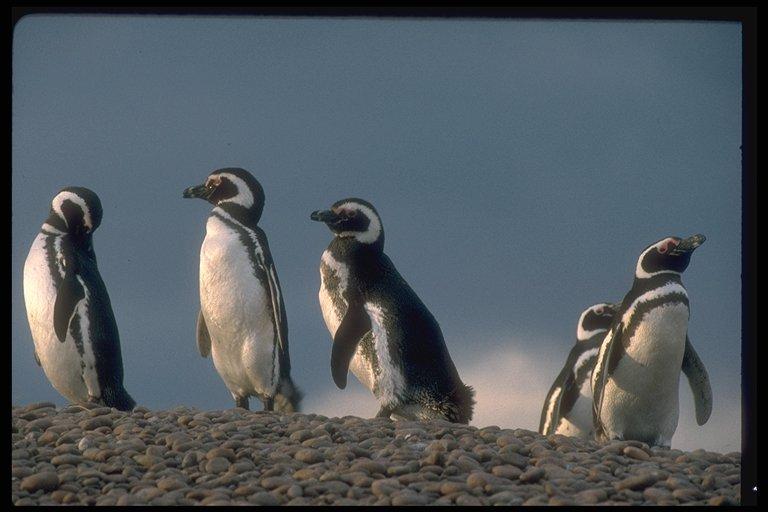 Punta Tombo, danzando con pingüinos