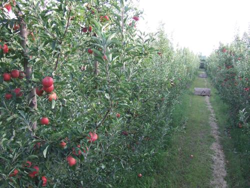 Plantacion de Manzanas